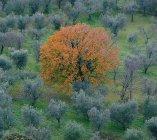 isolated oak among olive trees