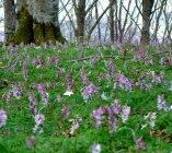 Beech forest and flower carpet