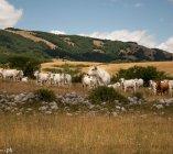 Le vacche dell'altopiano