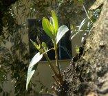 L'albero sacro mediterraneo