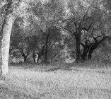 Gli uliveti dell'agro foronovano